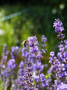 AKKIS Lavendelöl aus naturreinen Rohstoffen
